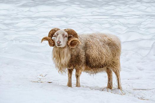 Ram on the snow