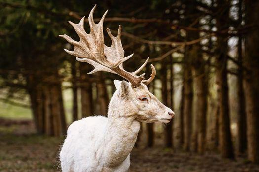 Portrait of white fallow deer