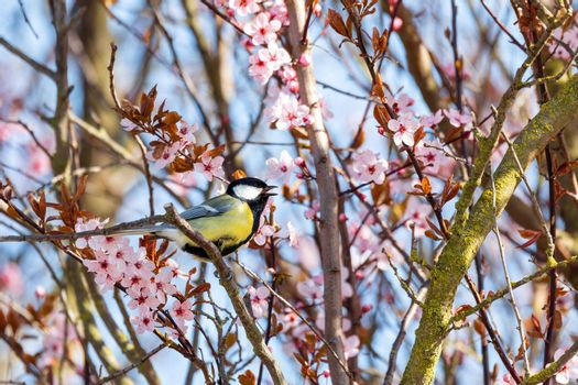 Eurasian blue tit in the nature