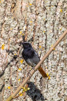 Black Redstart in springtime