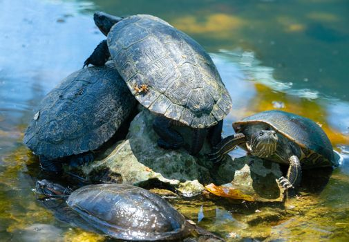 Red-eared slider or water slider turtles in the pond