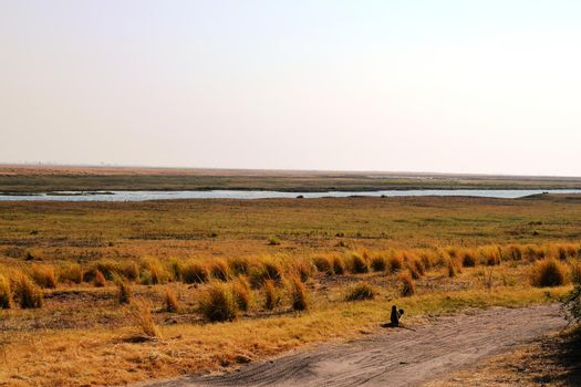 Two vervet monkeys observe the panorama from the Chobe National Park