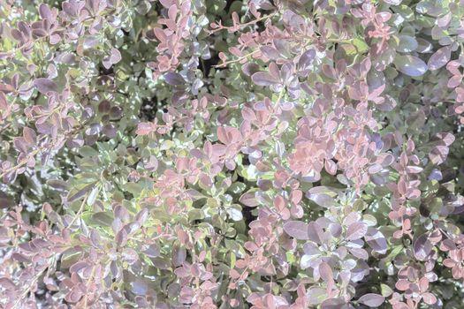 Barberry Thunberg is a beautiful ornamental shrub .