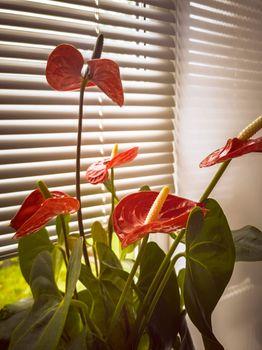 Beautiful blooming indoor anthurium flower on the windowsill