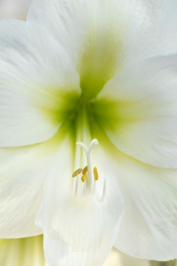 Close up of a white Amarylis with green centre, pistil and stamen