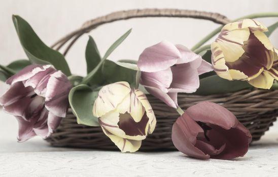 Bouquet of beautiful tulips in a wicker basket
