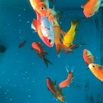 Orange Goldfish in a blue fishtank in a petshop