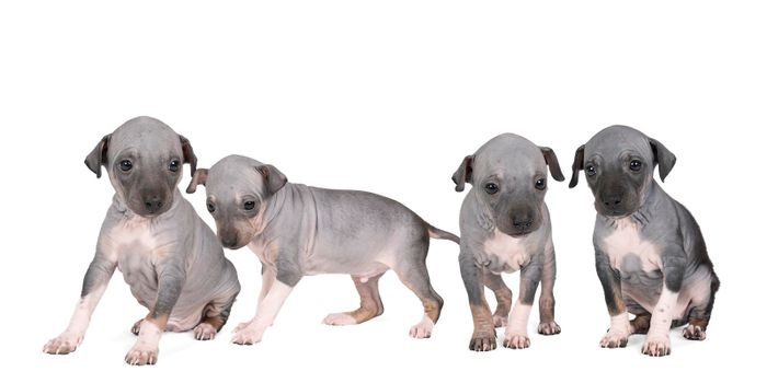 A panorama of four American Hairless Terrier puppies isolated against white background