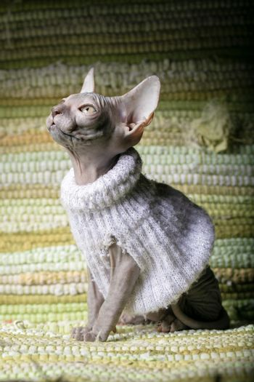 Sphynx kitten. Hairless cat in clothes.