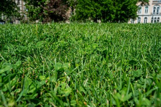 Grass Green Clovers Park Urban Europe Bulgaria Sunny Day