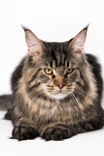 Obedient longhair cat breed American Coon Cat lying on white background