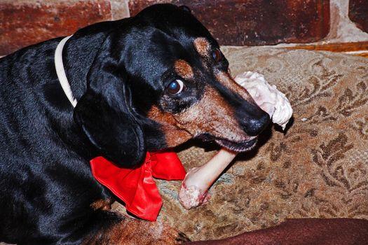 Dachshund with bone and bowtie 0117