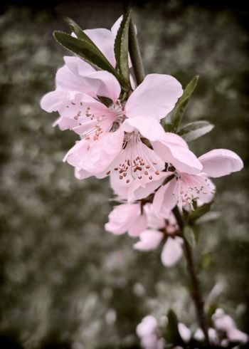 Peach blossom branch with beautiful pink flowers