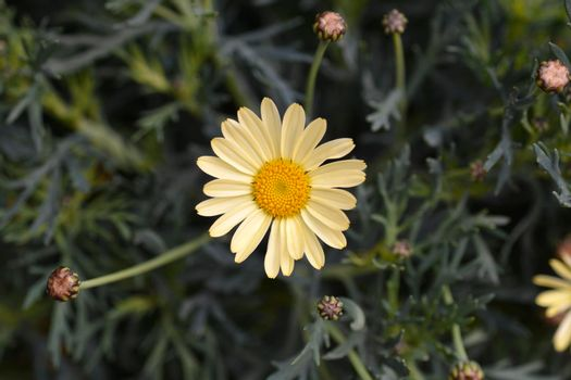 Pale Yellow Marguerite daisy