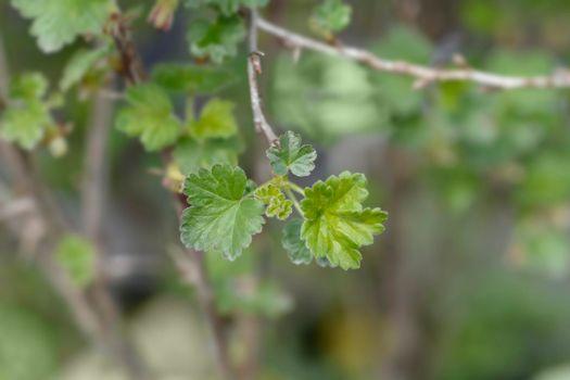 European gooseberry