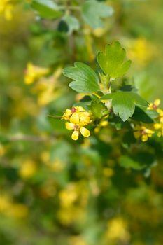 Golden currant
