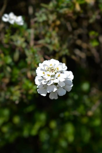 Evergreen candytuft Tahoe