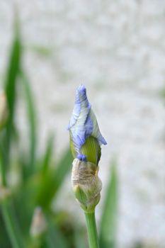 Tall bearded iris Blue Sapphire