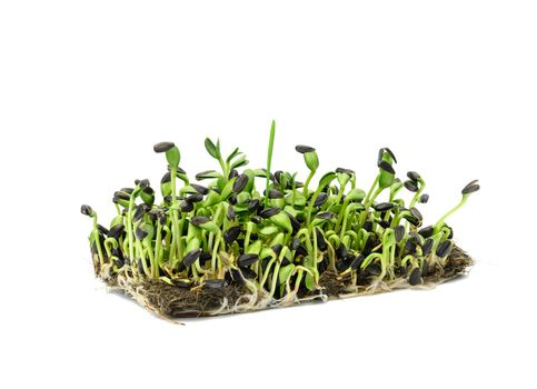 green sunflower sprouts on a white background, useful microgreen