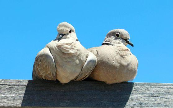 Pair of lovebirds on wood