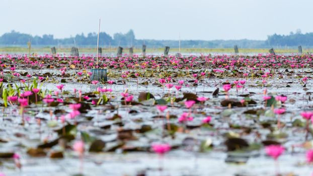 Lotus pond at Thale Noi Waterfowl Reserve Park