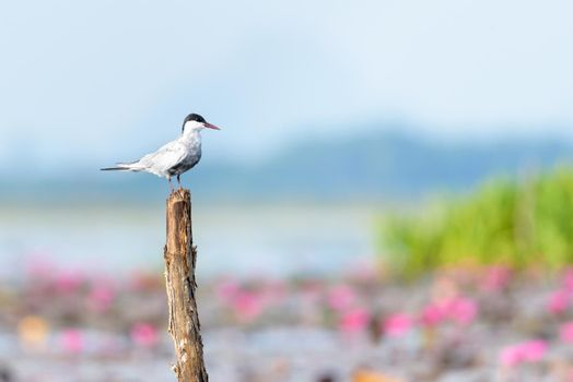 Arctic tern bird at Thale Noi Waterfowl Park