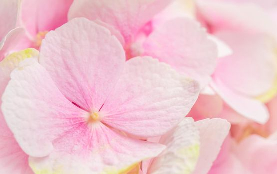Background of pink flowers. Hydrangea or hortensia in blossom.