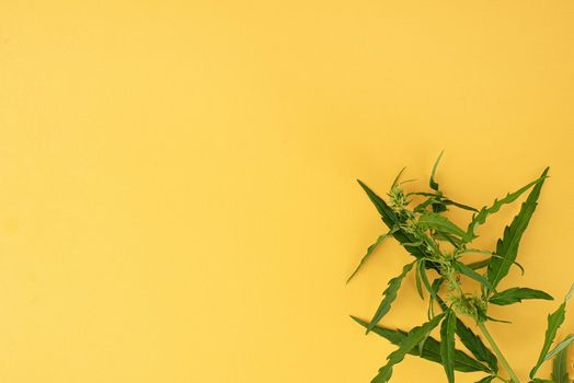 cannabis plant on a yellow background medical weed