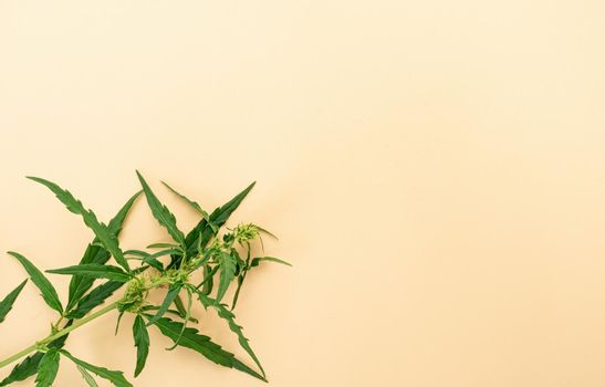 cannabis plant on a beige background medical weed