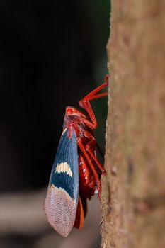 Lantern Bug (Scamandra tethis), Tangkoko Batuangus Nature Reserve, Sulawesi, Indonesia