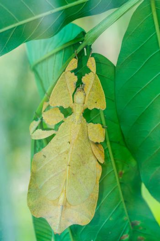 asian insect phyllium giganteum