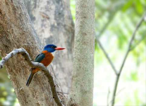 beautiful colorful bird green-backed kingfisher