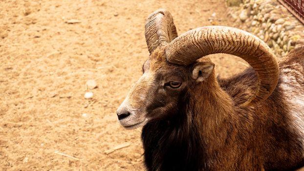 Mouflon, portrait of mammal with big horns. Wildlife scene form nature.