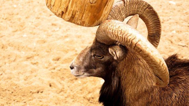 The mouflon scratches its horns against a wooden post.
