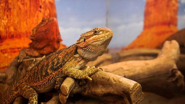 Reptile in the terrarium. Animals in the zoo.