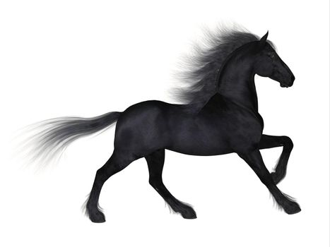 The Friesian is a distinctive breed of black horse developed in Netherlands as a light draft to do farm work.