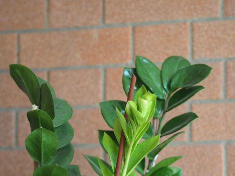 zamia (Zamia furfuracea) plant