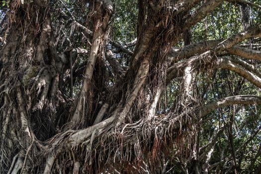 Banyan tree (Ficus benjamina) large and old grown in the park, kown as weepig fig, benjamin fig or ficus tree, Selective focus,
