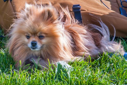 Cute Pomeranian dog chilling on green grass in the park.
