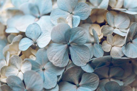 Beautiful Floral Background. Gentle Blue Hydrangea Flower. Lovely Petals. Creamy Pastel Colours.