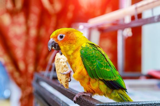 Cute sun conure parrot eating and looking at the camera.