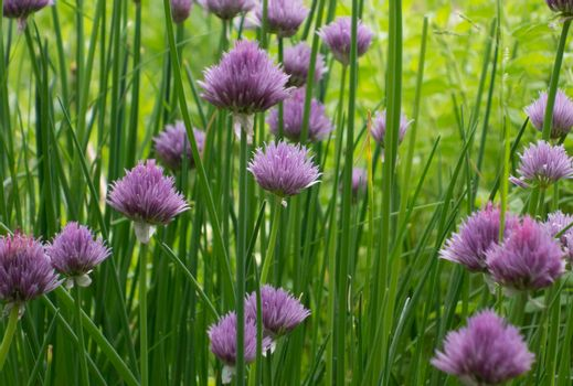 the green chives as a herb growing in the garden
