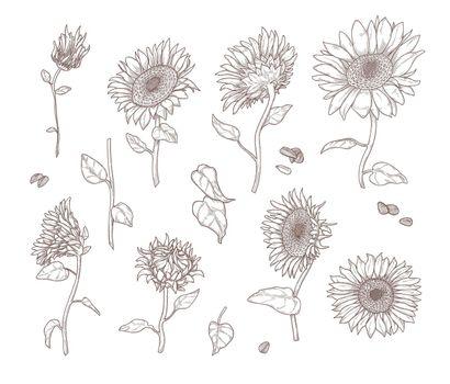 Set of monochrome sunflower sketches
