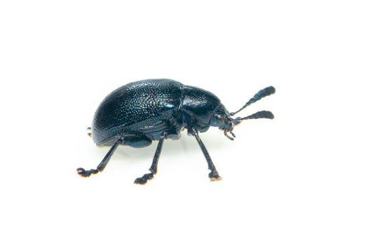 Image of blue milkweed beetle isolated on white background. Insect. Animal.