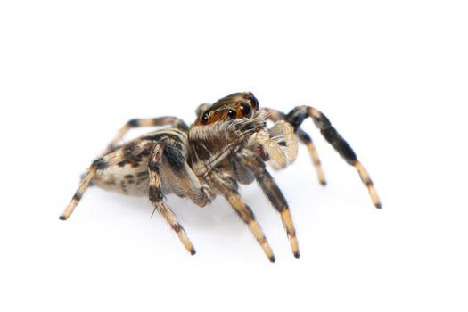 Image of jumping spider isolated on white background. Insect Animal.