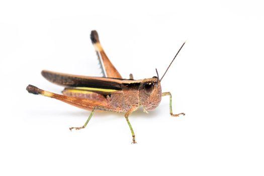 Image of sugarcane white-tipped locust grasshopper (Ceracris fasciata) isolated on white background. Insect Animal. Caelifera., Acrididae