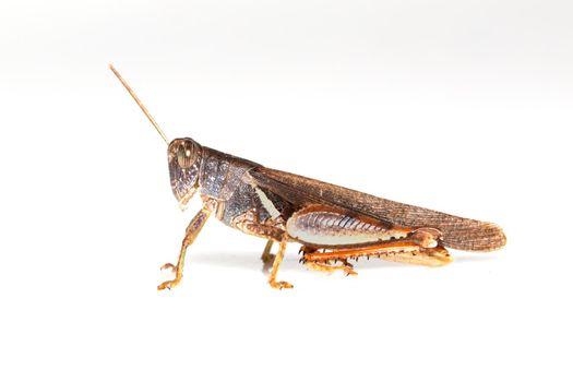 Image of white-banded grasshopper(stenocatantops splendens) isolated on white background. insect. Brown grasshopper