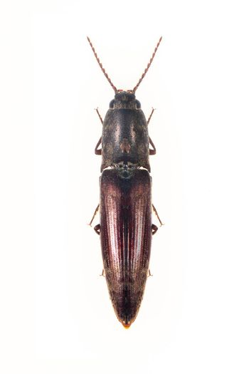 Image of click beetle isolated on white background. Insect. Animal.