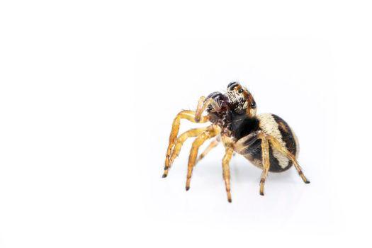 Image of bleeker's jumping spider (Euryattus bleekeri) on white background. Insect. Animal