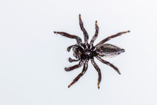 Image of biting jumping spider (Opisthoncus mordax) on white background. View from the bottom. Insect. Animal